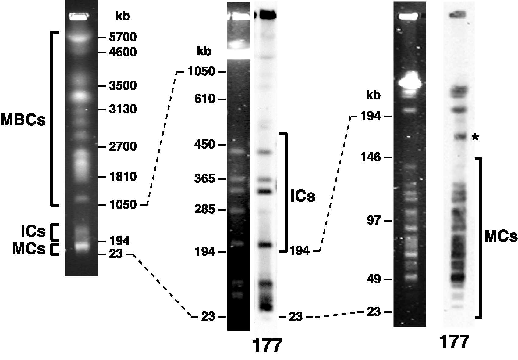 T.brucei karyotype